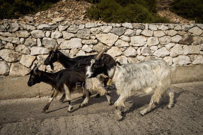 Кіз, йдучи поруч з стіни — стокове фото