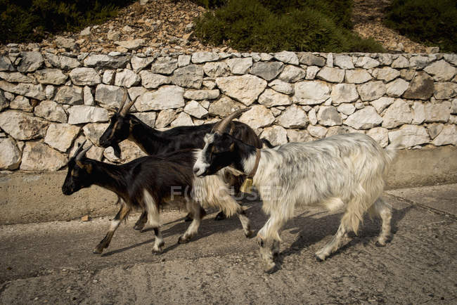Goats walking beside wall — Stock Photo