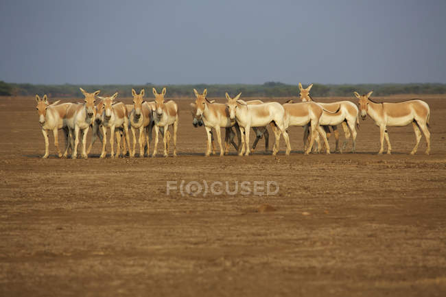 Manada de Khur, indios burros salvajes en el desierto paisaje del Santuario de vida silvestre indio - foto de stock