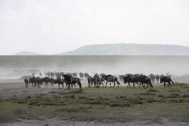 Gnu-Herde rührt sich — Stockfoto