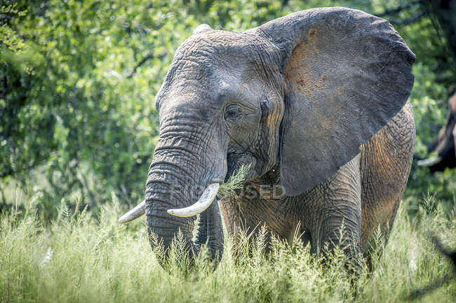 Elephant feeding on grass — Stock Photo