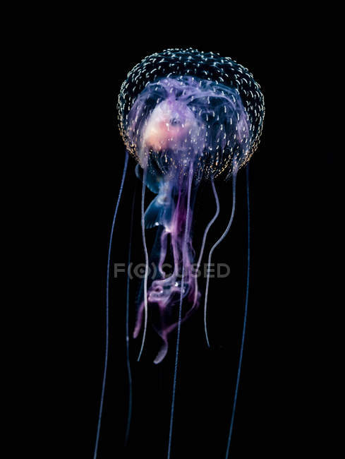 Jellyfish (Pelagia noctiluca) with fish prey photographed during a blackwater scuba dive several miles offshore of a Hawaiian Island at night; Hawaii, United States of America — Stock Photo