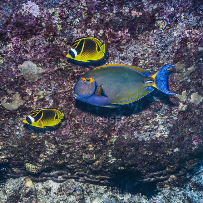 Deux poissons-papillons et poissons-chirurgiens nagent devant un rocher de lave — Photo de stock