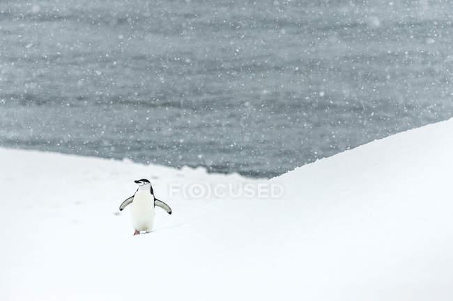 Chinstrap pingüino en las nevadas - foto de stock