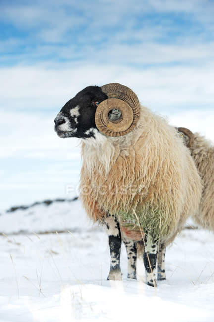 Dalesbred ram on moorland in snow — Stock Photo