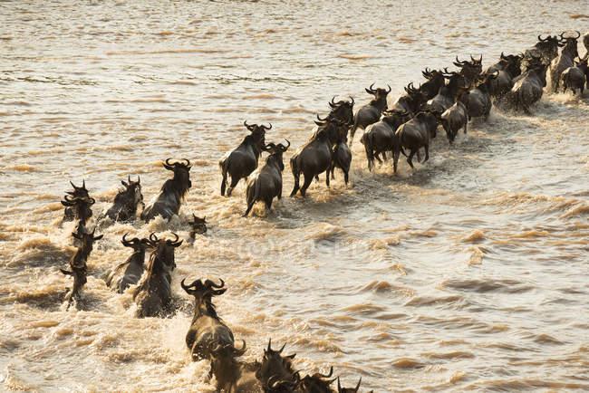 Міграції антилоп гну перетнути річку — стокове фото