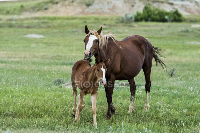 Wild horses grazing on field — Stock Photo