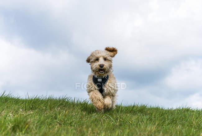 Cockapoo sur herbe verte — Photo de stock