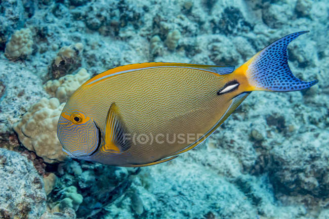 Exotic Surgeonfish swimming in ocean near coral — Stock Photo