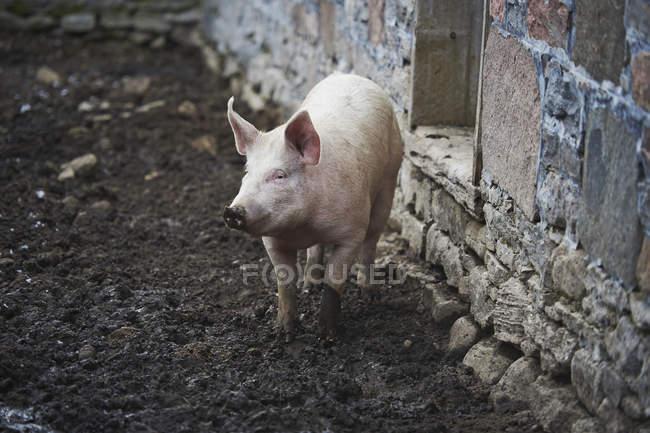 Cerdos en corral al aire libre - foto de stock