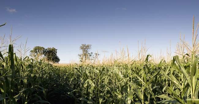 Maisfeld gegen blauen Himmel — Stockfoto