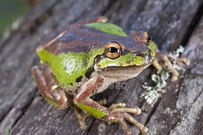 Тихоокеанський Treefrog, розташованій на журнал — стокове фото