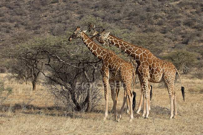 Due giraffe reticolate — Foto stock