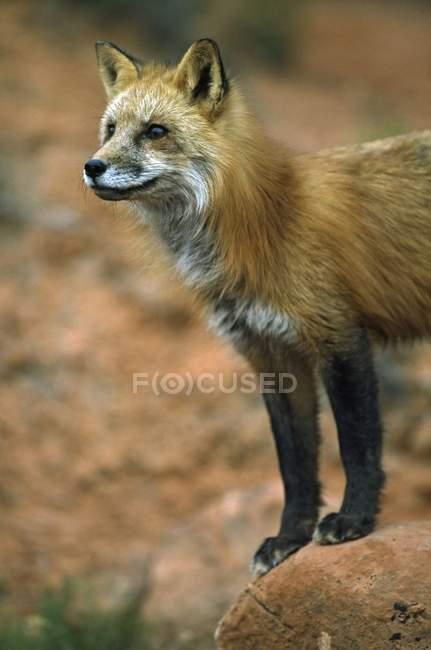 Лисиця руда на піщаник Боулдер — стокове фото