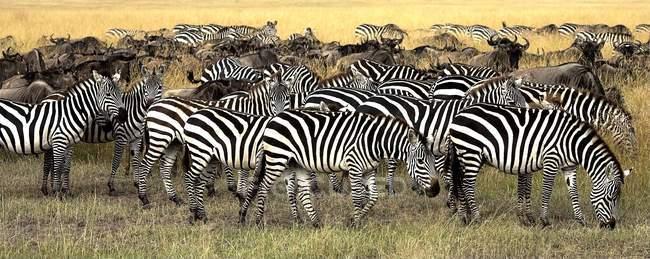 Зебр і антилоп гну на Burchell — стокове фото