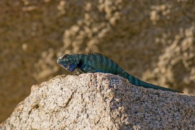 Granite Spiny Lizard — Stock Photo
