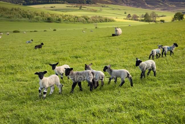 Ovelhas correndo em um campo — Fotografia de Stock