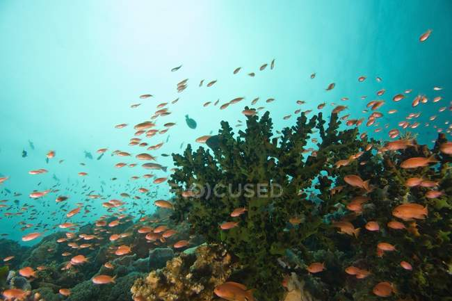 Anthias Near Cup Coral — Stock Photo