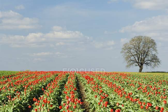 View of Field Of Tulips — Stock Photo
