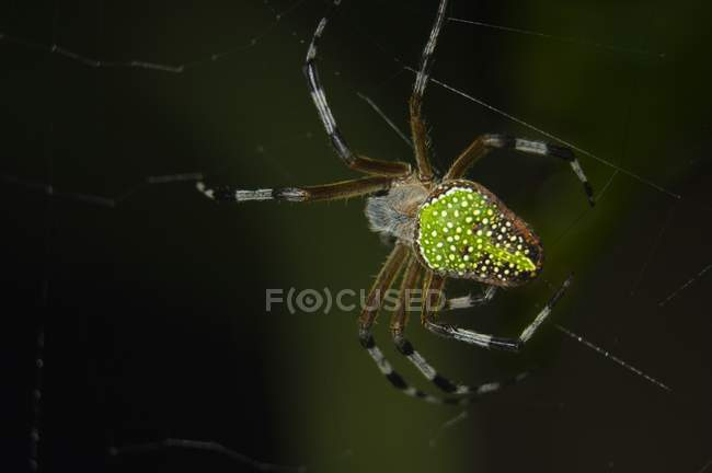 Dos vert Orb Spider — Photo de stock