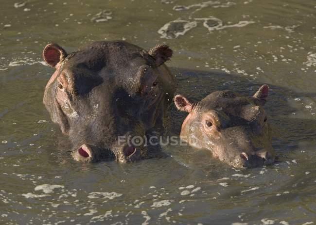 Hippo et veau dans la rivière — Photo de stock