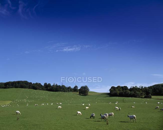 Ovejas en campo; Lissard, Co Meath - foto de stock
