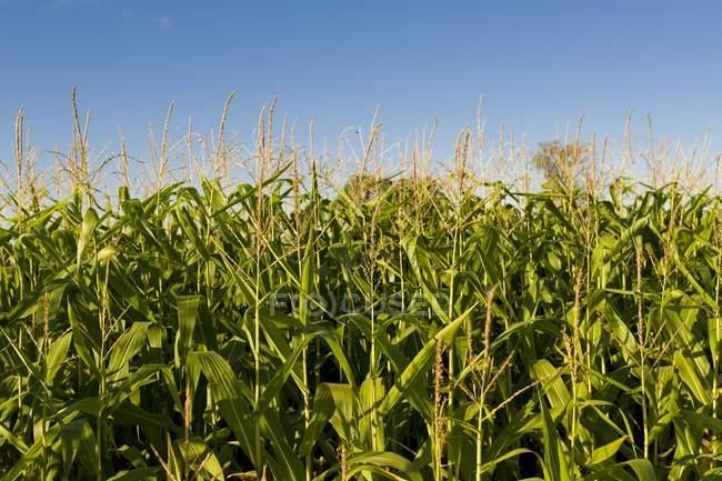 Corn Field during daytime — Stock Photo