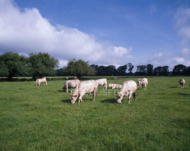 Charolais-Rinder weiden auf der Weide — Stockfoto