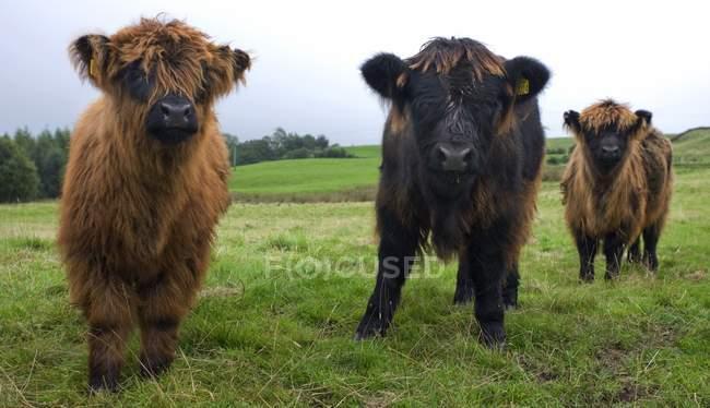 Highland Kälber im Feld — Stockfoto