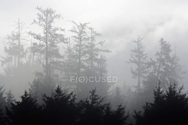 Floresta nebulosa com árvores — Fotografia de Stock