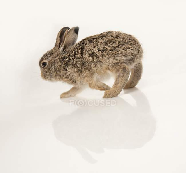 Ребенка кролика стоя — стоковое фото