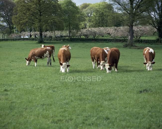 Bovini al pascolo sull'erba — Foto stock