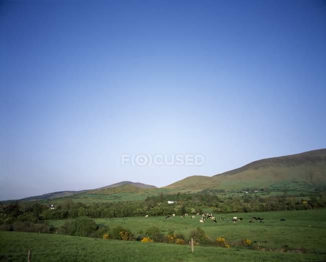Friesian Grazing gado em Glen de Aherlow — Fotografia de Stock