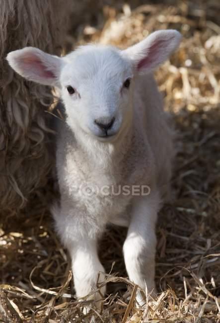Cordeiro branco bonito no feno — Fotografia de Stock