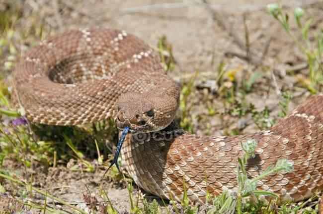 Red-Diamond Rattlesnake — Stock Photo