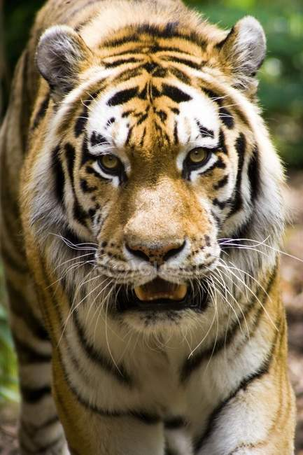 Tiger blickt in Kamera — Stockfoto