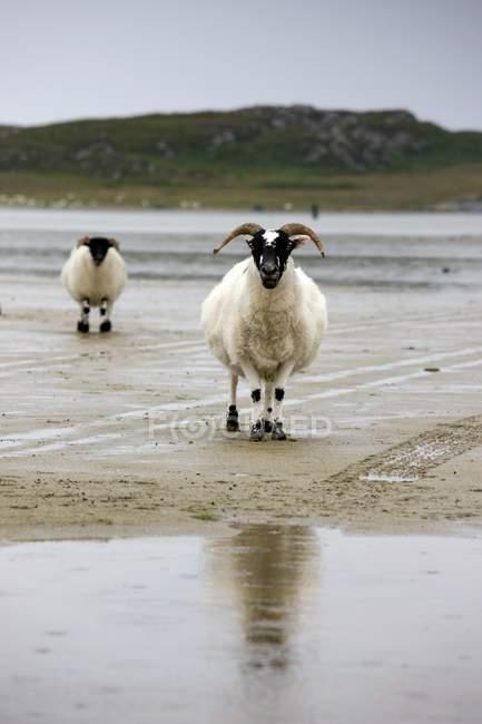 Schafe am Strand, Kolonsay, Schottland — Stockfoto