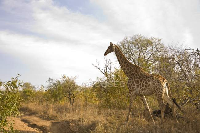 Giraffe, Arathusa Safari Lodge — Stockfoto