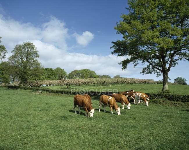 Hereford Bullocks pastando en el campo - foto de stock