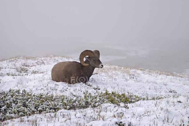 Jaspis-Nationalpark, Dickhornschafe — Stockfoto