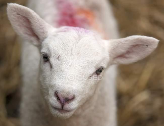 Niedliche weiße Schafe — Stockfoto