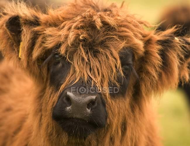 Highland-Kuh Blick in die Kamera — Stockfoto