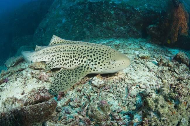 Leopard акула під водою — стокове фото
