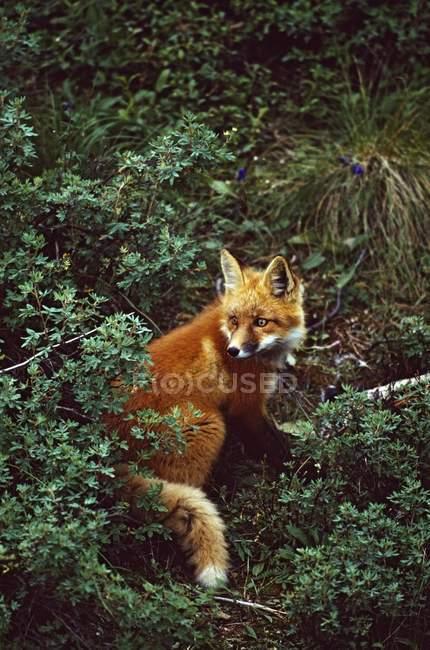 Лисиця руда в кущі — стокове фото