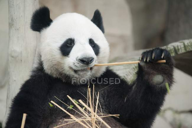 Panda comiendo bambú - foto de stock