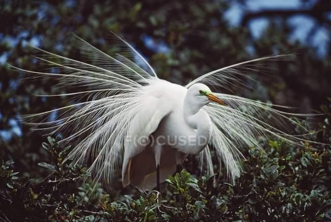 Airone bianco adulto — Foto stock