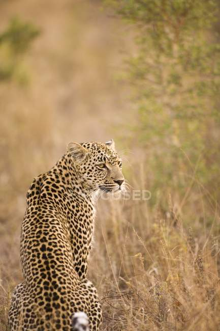 Leopardo, Arathusa Safari Lodge — Foto stock