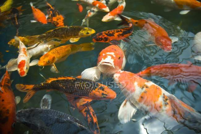 Goldfish In Fish Pond — Stock Photo