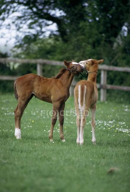 Cavalos - Puroughbreds, potros; Irlanda — Fotografia de Stock