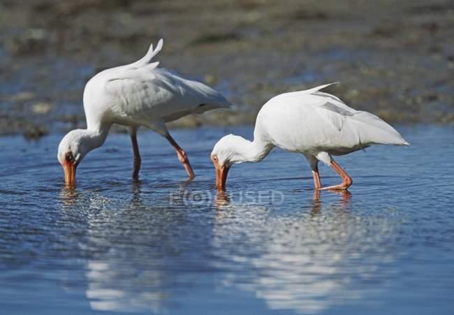 White Ibis outdoors — Stock Photo